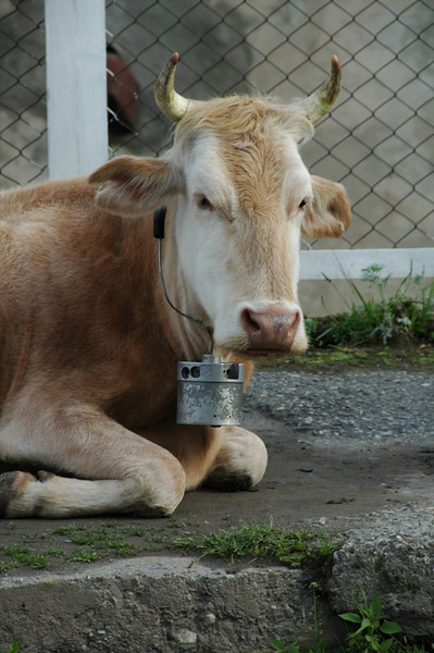 Cow with Horns - Svaneti, Georgia