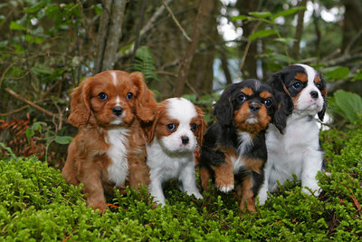 At nine weeks old, with all four colors of the breed on display, this group of Cavalier King Charles Spaniels puppies are quite wiggley. Photo taken near Sequim, Washington.