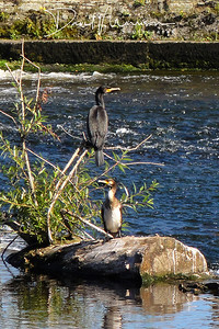 029-Cormorants-On-The-Caul-(2)