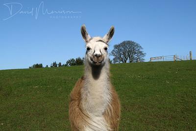 030-Llama