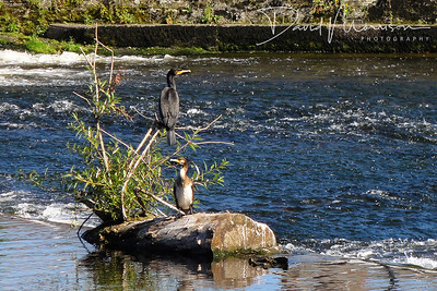 028-Cormorants-On-The-Caul-(1)