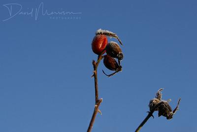 025-Rose-Hip
