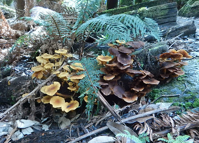 Fungi on the Marakoopa Trail.