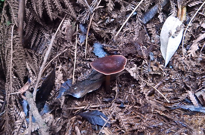 some sort of Cortinarius?