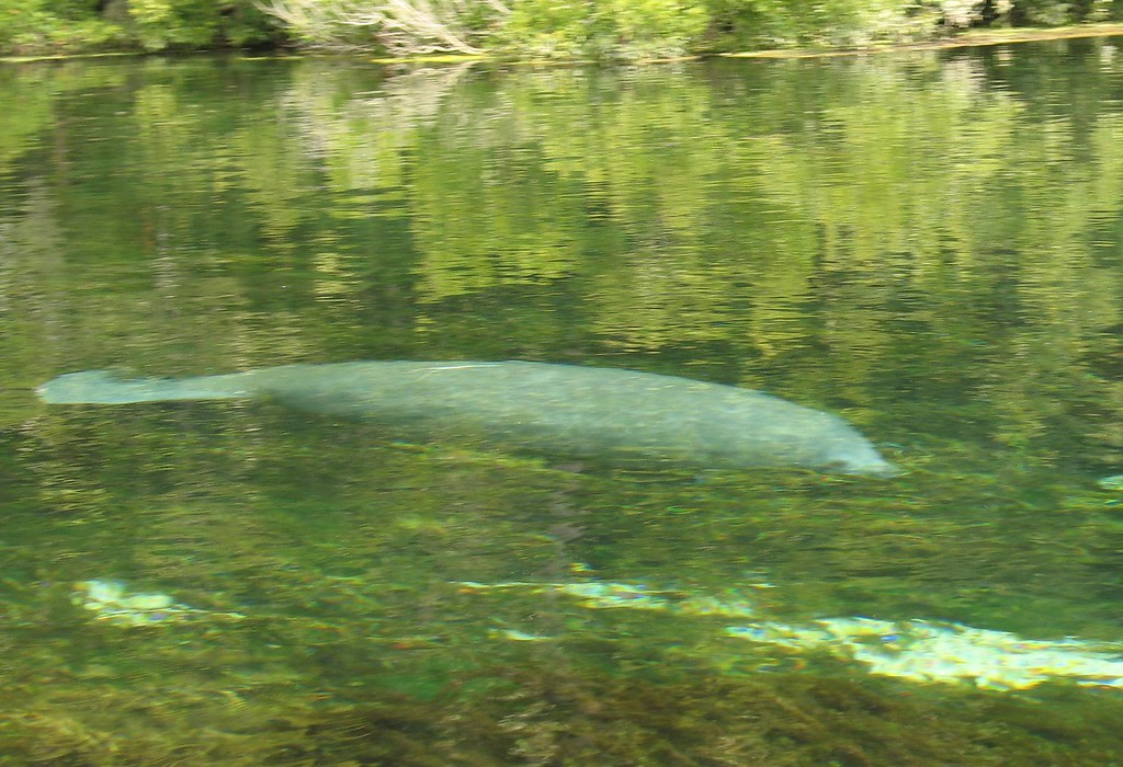 Manatee at wakkula [pic courtesy of Agnes  Milowka]