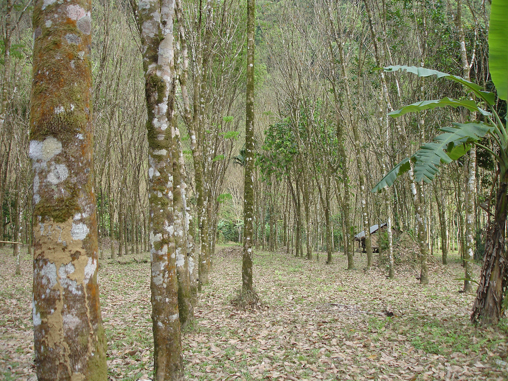Plantation and then jungle hide enterance to Tham Thong Lang