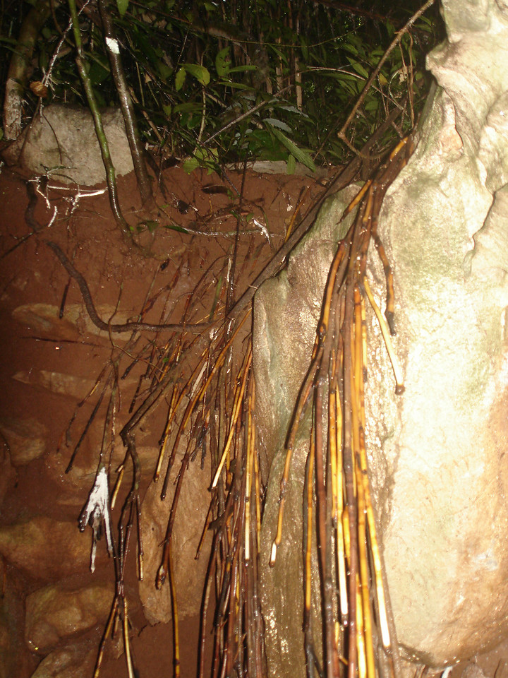 Tree roots hanging down into cave