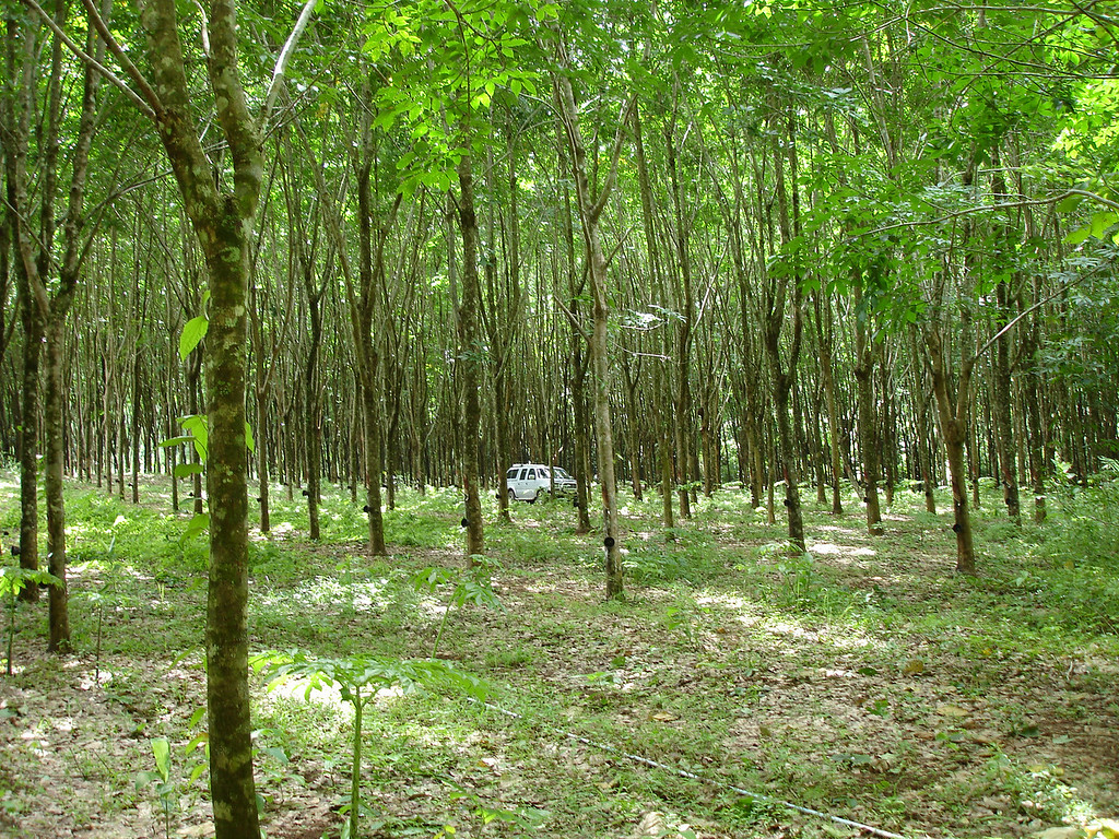 Leaving the truck in a rubber plantation to go cave hunting
