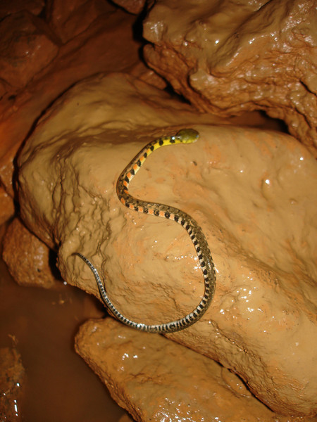 The Malaysian triangle-necked keelback is a common snake that usually occupies lowland to mid-level rainforest.  The keelback species hunts frogs, lizards and fish in the wild.  We saw several frogs just inside the cave enterance  (where we found this snake)