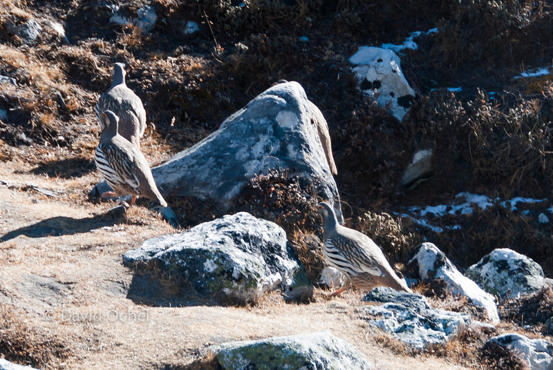 Weird birds hanging out around Gokyo.