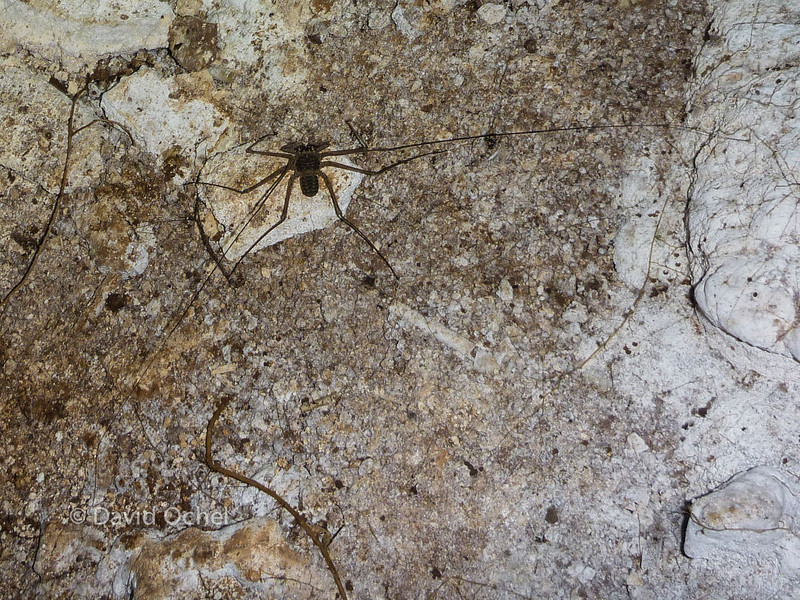 Amblypygid sensing around for prey. No scale, sadly, but there were some pretty big ones in the cave.