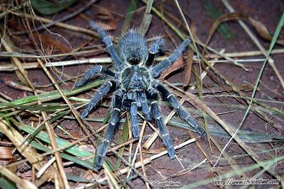 Baboon spider