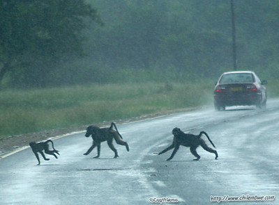 Baboons crossing the road on the way back to Gaborone.