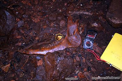 Jaw bone in debris pile at base of entrance.