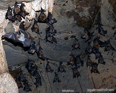 Bats in Lobatse cave #1, Botswana