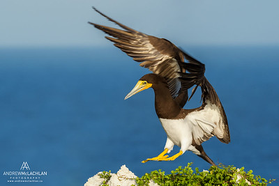 Brown Booby (Sula leucogaster) in flight, Cayman Brac, BWI