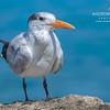 Royal Tern (Sterna maxima) on Cayman Brac