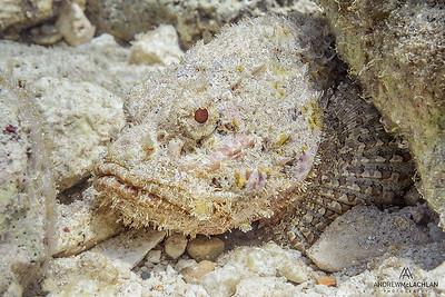 Spotted Scorpionfish (Scorpaena plumieri), Cayman Brac, British West Indies