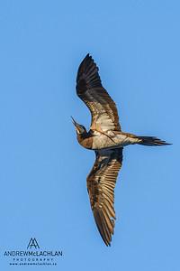 Brown Booby (Sula leucogaster), Cayman Brac, Cayman Islands