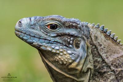 Blue Iguana (Cyclura lewisi), Grand Cayman, BWI