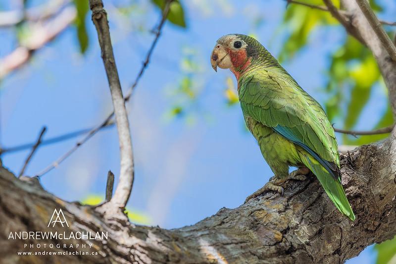 Cayman Brac Parrot (Amazona leucoephala hesterna) on Cayman Brac