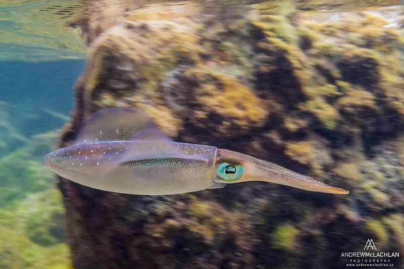 Caribbean Reef Squid (Sepioteuthis sepioidea), Cayman Brac, British West Indies