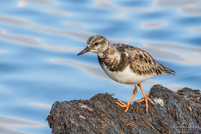 Ruddy Turnstone (Arenaria interpres), Cayman Brac, BWI