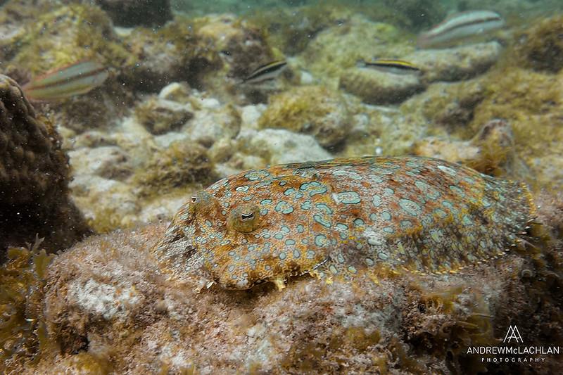 Peacock Flounder (Bothus mancus), Cayman Brac, British West Indies