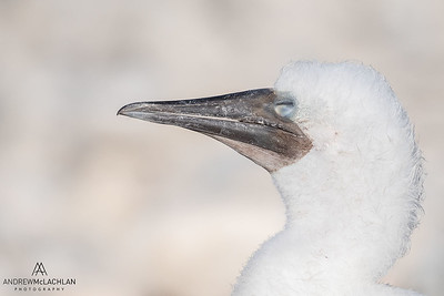 Brown Booby (Sula leucogaster) chick sleeping, Cayman Brac, BWI