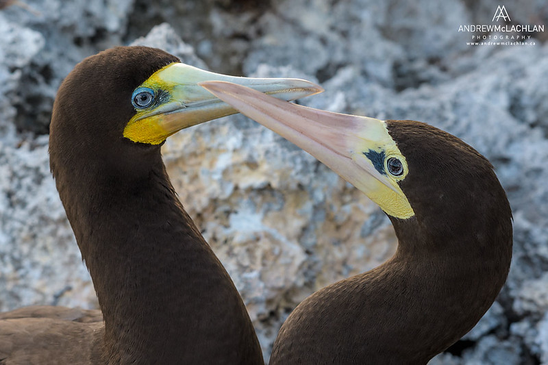 Brown Booby (Sula leucogaster) mated pair greeting, Cayman Brac, British West Indies
