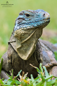 Blue Iguana (Cyclura lewisi), Grand Cayman, BWI
