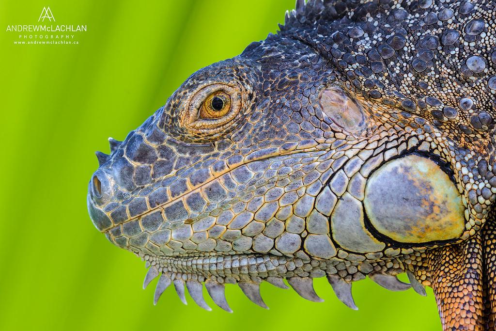 Green Iguana (Iguana iguana), Grand Cayman, British West Indies