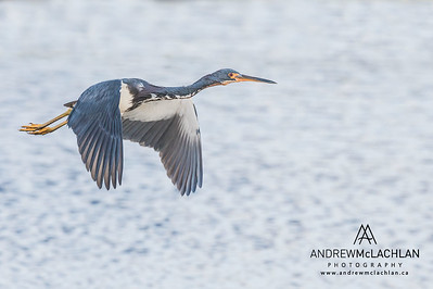 Tricolored Heron (Egretta tricolor) in flight on Cayman Brac