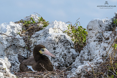Brown Booby (Sula leucogaster) at the nest, Cayman Brac, BWI