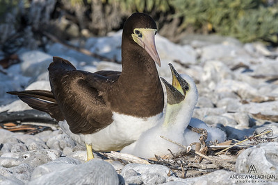 Female Brown Booby with chick (Sula leucogaster), Cayman Brac, BWI