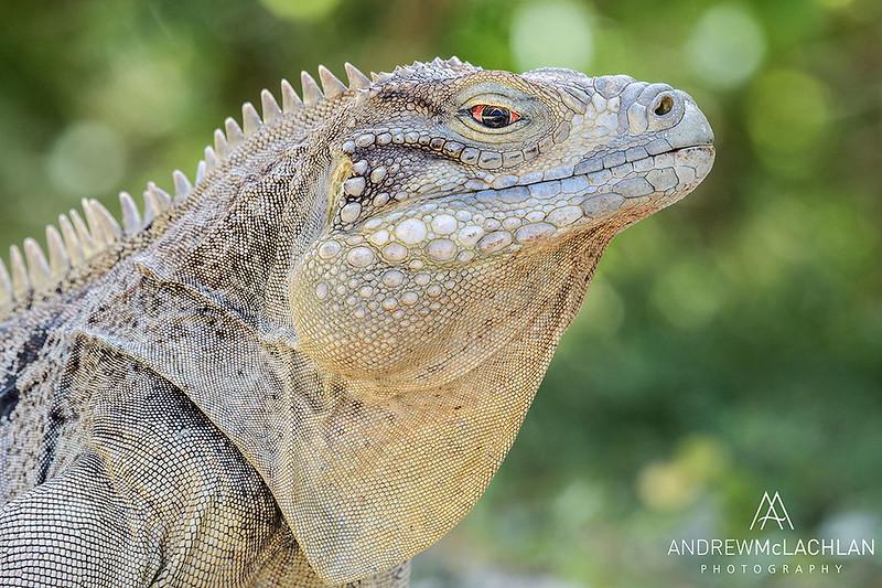 Cayman Brac Iguana (Cyclura nubila caymanensis), Cayman Brac, British West Indies