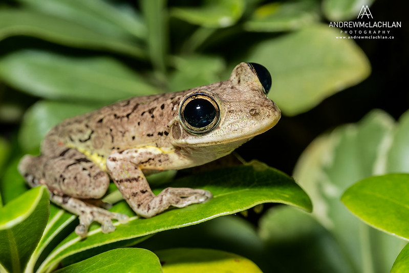 Cuban Tree Frog (Osteopilus septentrionalis) on Cayman Brac