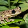 Cuban Tree Frog (Osteopilus septentrionalis) on Cayman Brac