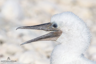 Brown Booby (Sula leucogaster) chick, Cayman Brac, BWI