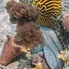 Octopus inking on Cayman Brac