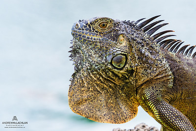 Green Iguana (Iguana iguana), Grand Cayman, BWI