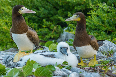 Brown Booby (Sula luecogaster), Cayman Brac, BWI