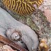 Octopus on Cayman Brac
