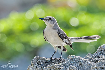 Northern Mockingbird (Mimus polyglottos), Grand Cayman, British West Indies