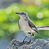 Northern Mockingbird (Mimus polyglottos), Grand Cayman, British West Indies