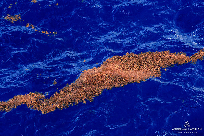 Seaweed Floating in the Caribbean Sea, Cayman Brac, British West Indies