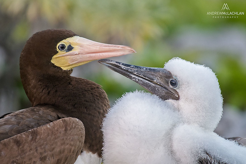Brown Booby (Sula leucogaster) with chick, Cayman Brac, British West Indies