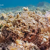 Spotted Stonefish (Inimicus sinensis) on Cayman Brac