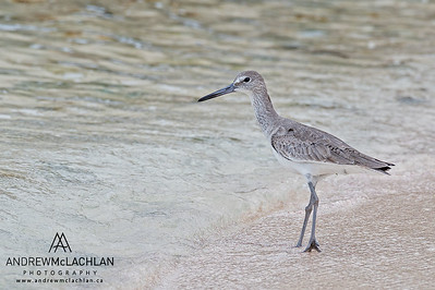 Willet (Catoptrophorus semipalmatus) on Cayman Brac