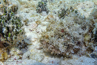 Spotted Stonefish, Cayman Brac, BWI